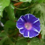 朝顔の花言葉、色