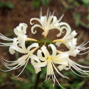 白い彼岸花の花言葉は
